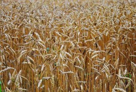 Niskie ceny skupu zbóż – dlaczego?