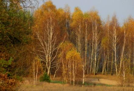 Sosnówka jesienią