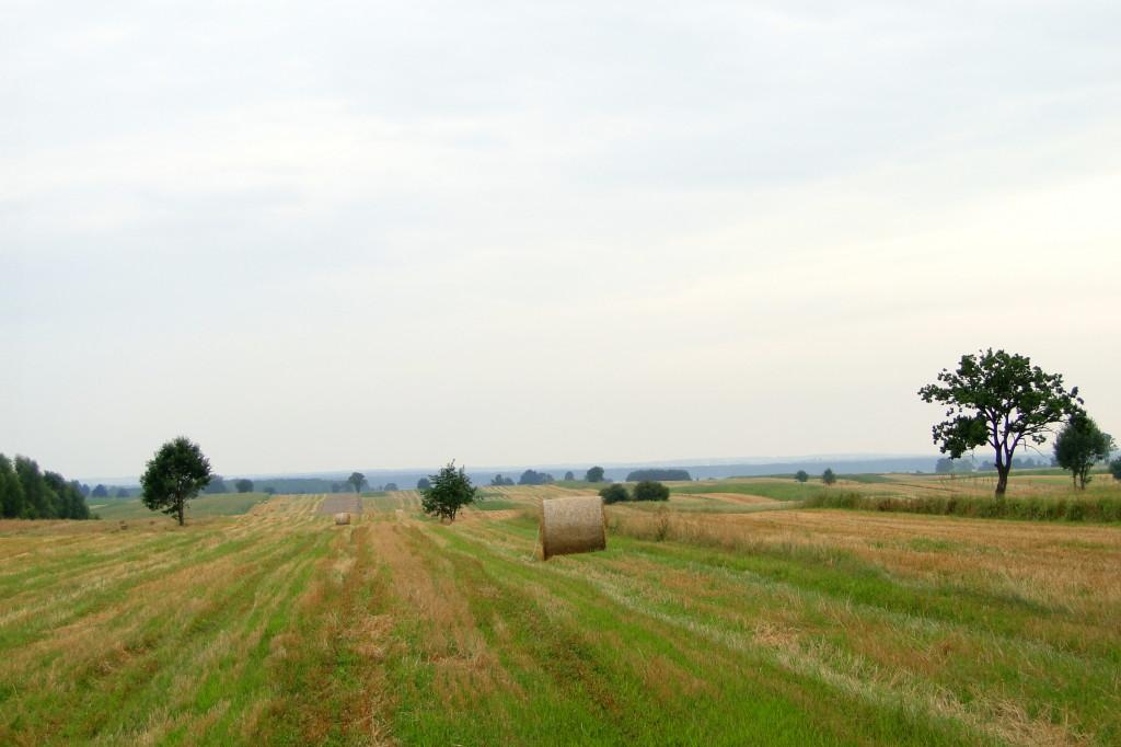 Pola Abramów – Sosnówka: lipiec – sierpień