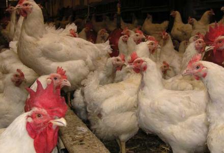 Drób wyjdzie z zamknięcia – Stanowisko Ministerstwa Rolnictwa i Rozwoju Wsi